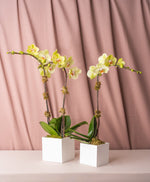 Load image into Gallery viewer, Green Phalaenopsis Orchid in Lacquered Box