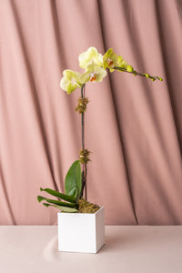 Green Phalaenopsis Orchid in Lacquered Box