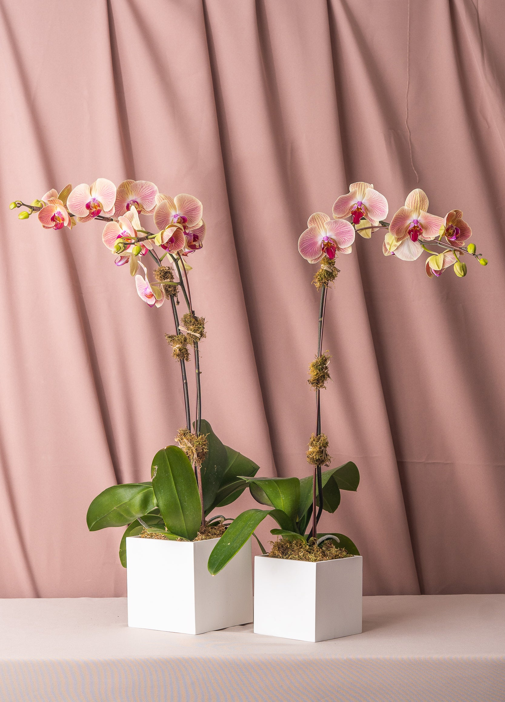 Two-Tone Green Phalaenopsis Orchid in Lacquered Box