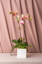 Load image into Gallery viewer, Two-Tone Green Phalaenopsis Orchid in Lacquered Box