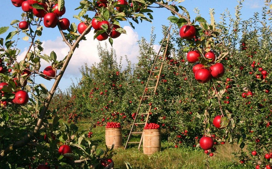 What Apples Grow In California?