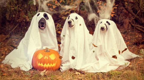 3 dogs dressed up as ghosts, sitting in front of a Jack-O-Lantern