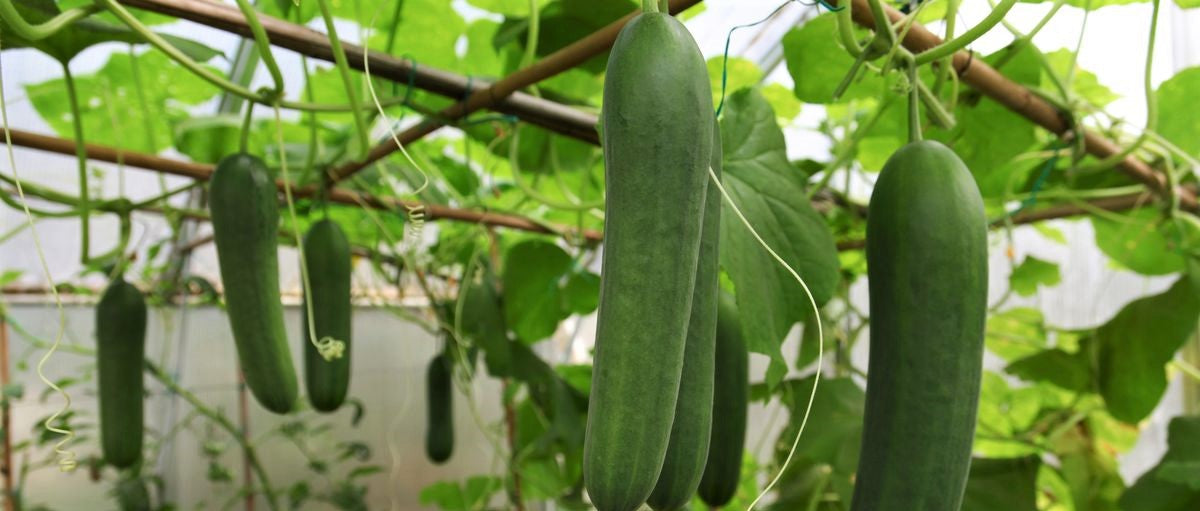 cucumbers growing from plant inside large greenhouse