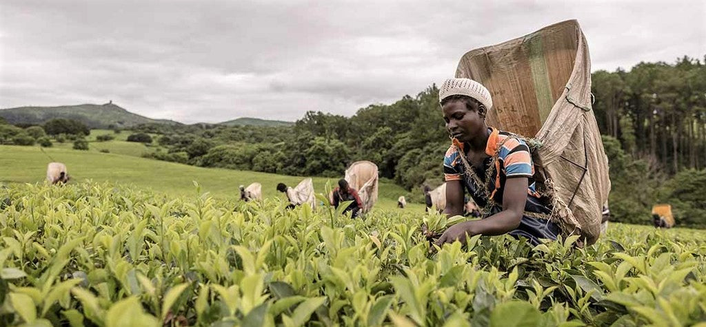 fairtrade farmers in developing country collect tea leaves