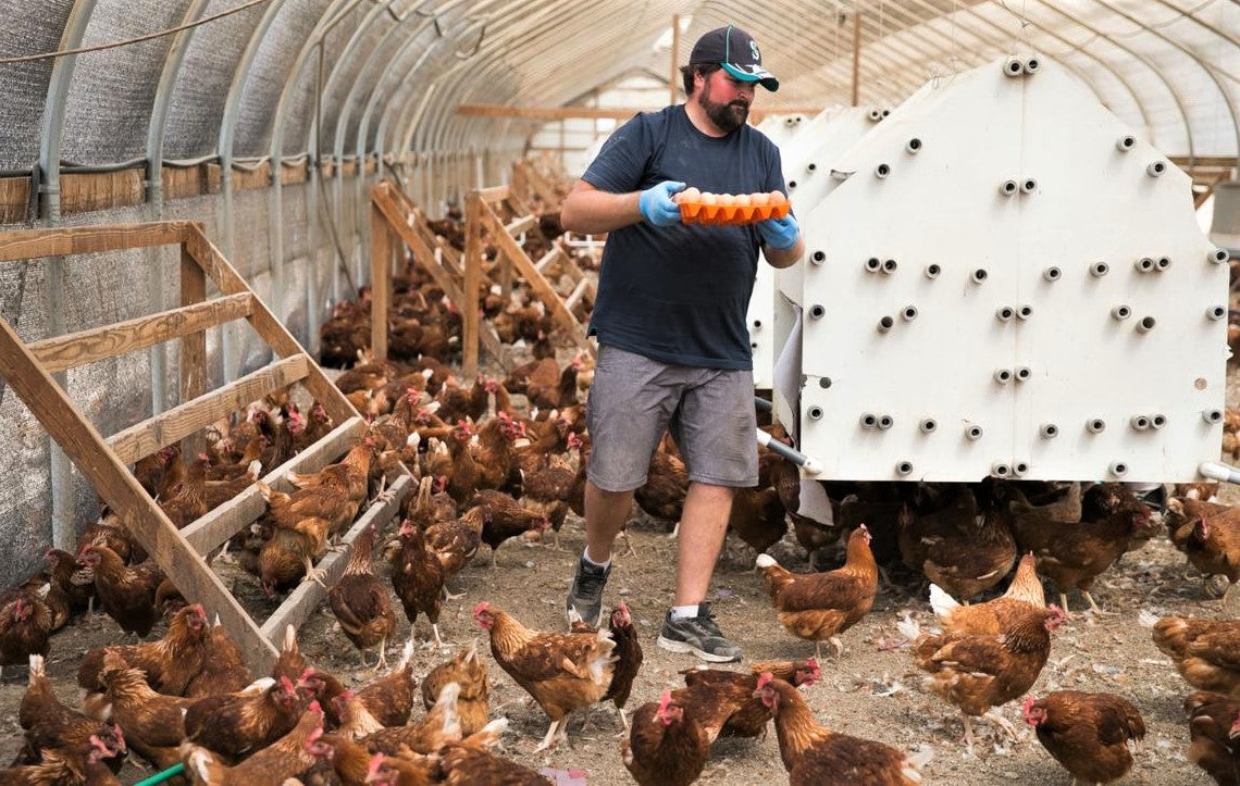 happy farmer collecting free range eggs from hens roaming freely