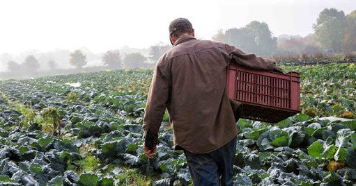 independent farmer collects harvest in large field