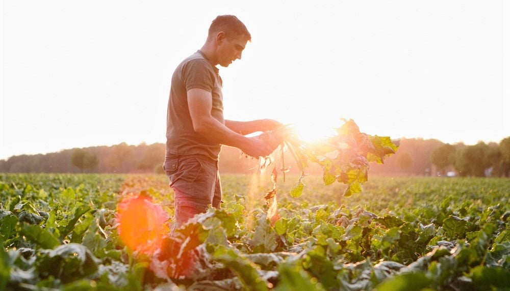 organic farmer collecting vegetables in sunset