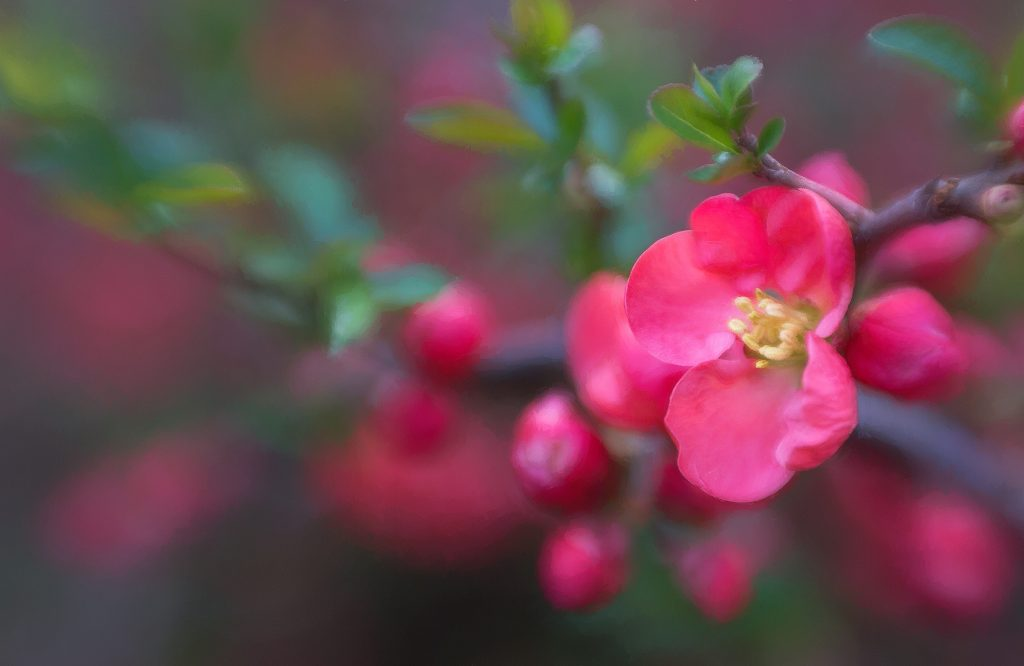Anne Belmont with Composer Pro and Sweet 50 Optic Lensbaby Creative Photography Flower Photography Pink Flowering Bush