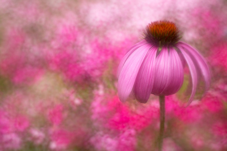 Soft focus photography from Kathleen Clemons of a pink flower close up with a yellow interior.