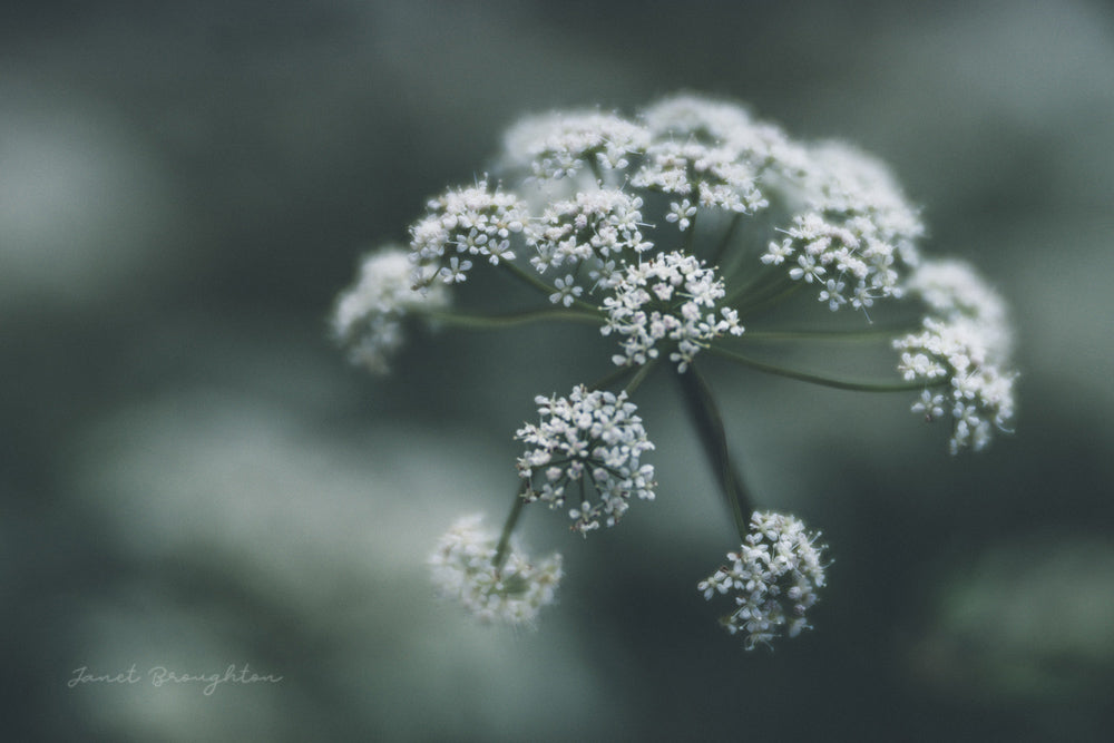 Cow Parsley Flowers Lensbaby Creators Janet Broughton