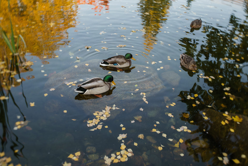 Two ducks in water