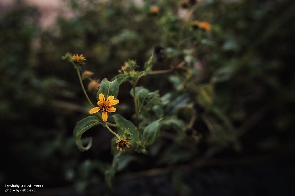 Yellow flowers green leaves Debbie Soh Trio 28 Lensbaby Creative Photography