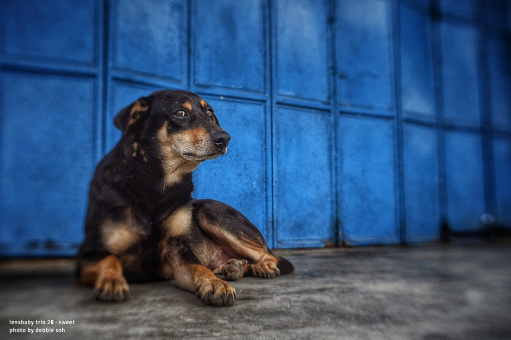 Dog laying in front of blue wall Debbie Soh with Trio 28 Lensbaby Creative Photography