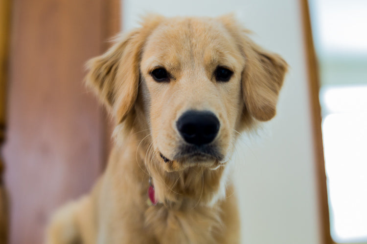 Golden lab dog portrait Sarah Huizenga Velvet 56 Lensbaby Creative Photography Dog Photography Art Lens