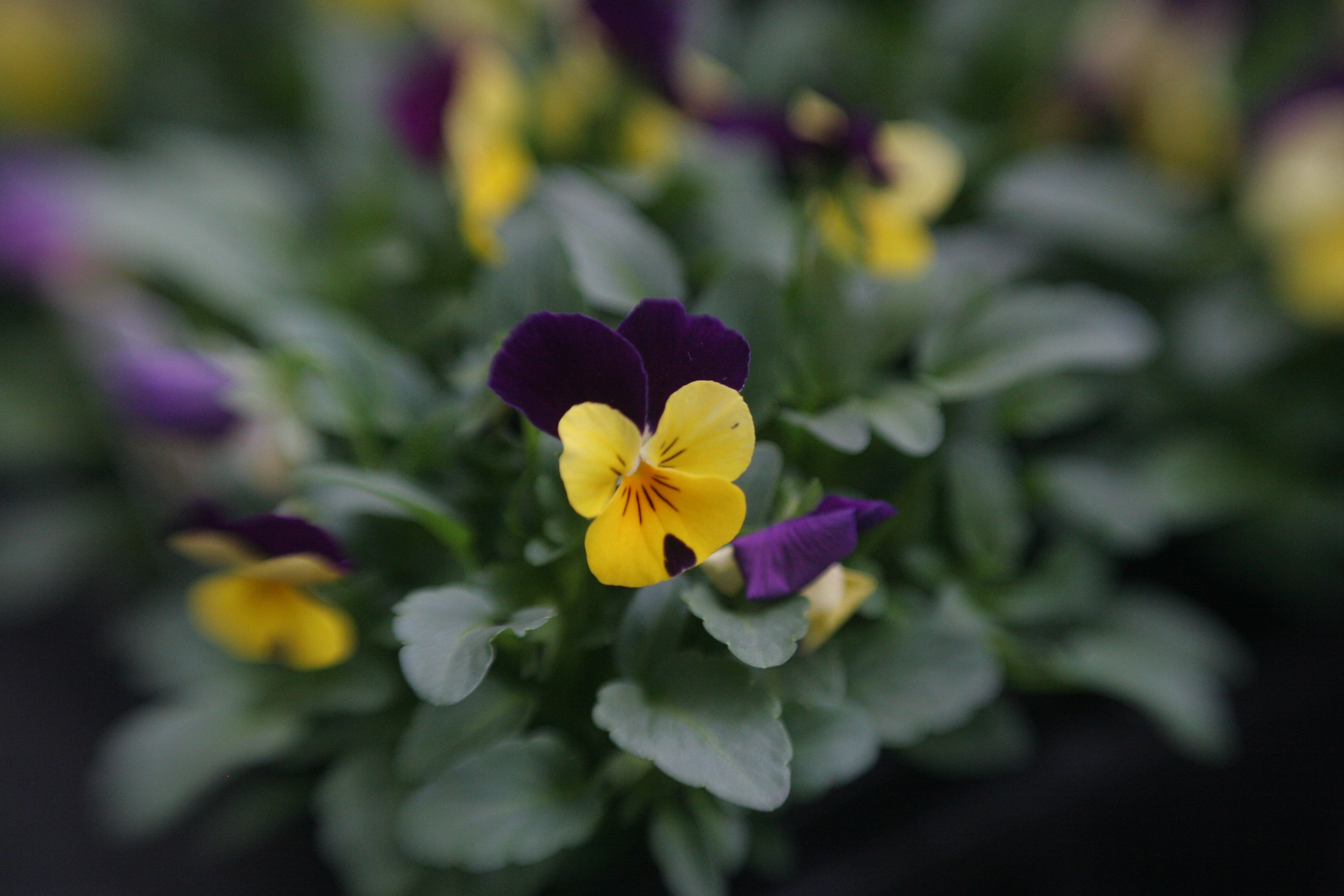 photo of yellow and purple flower with green leaves spring creative focus photography kids photography Amy Cyphers