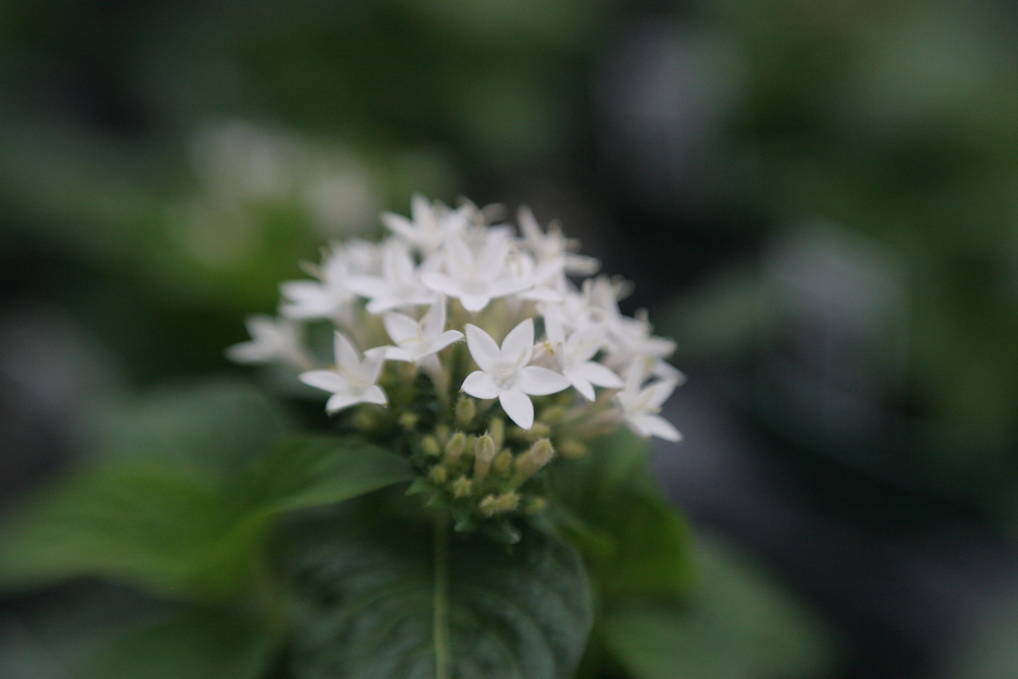 white five petal flowers with green leaves bouquet selective focus Amy Cyphers Photography Adventures