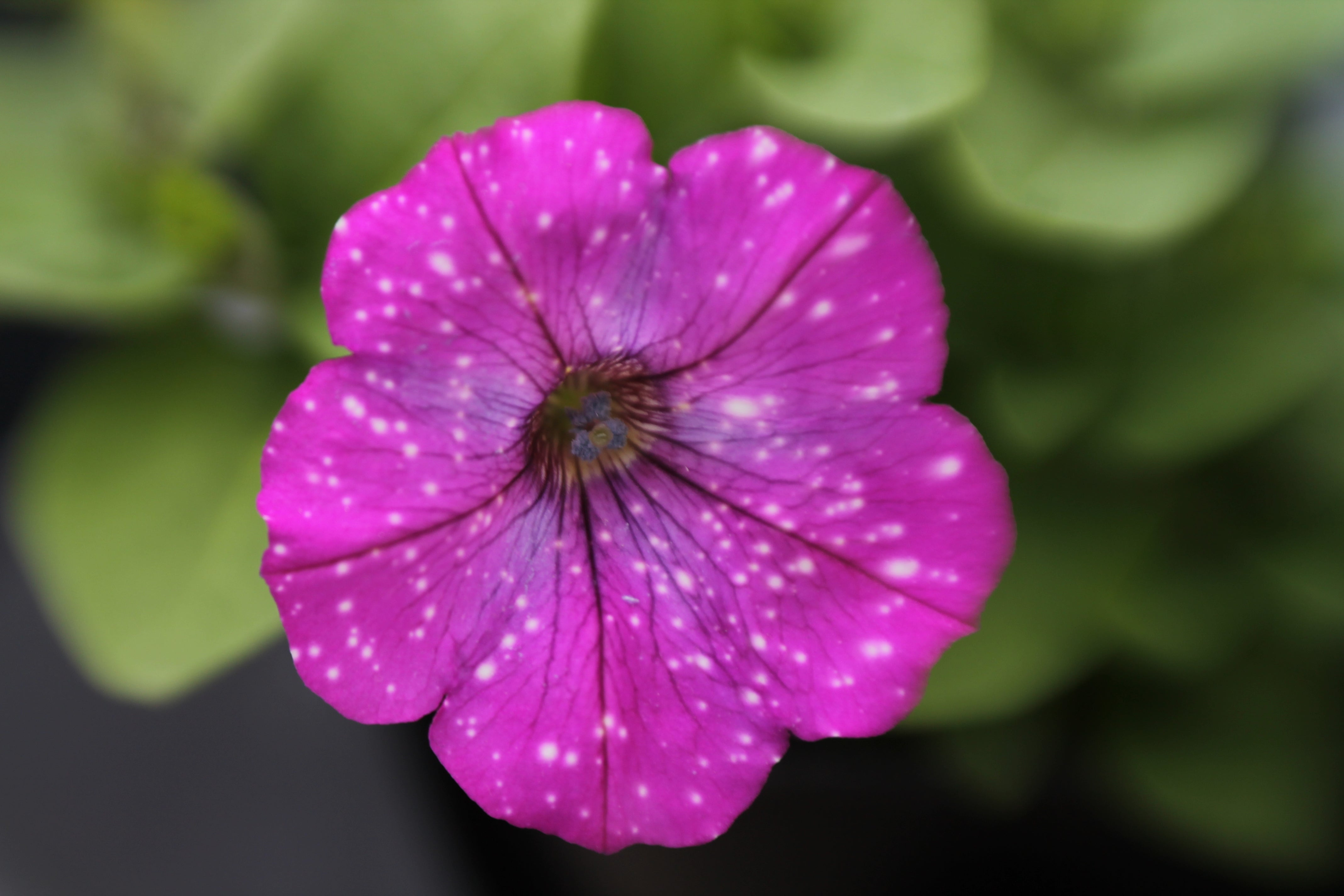 pink flower with white dots macro photography nature Amy Cyphers