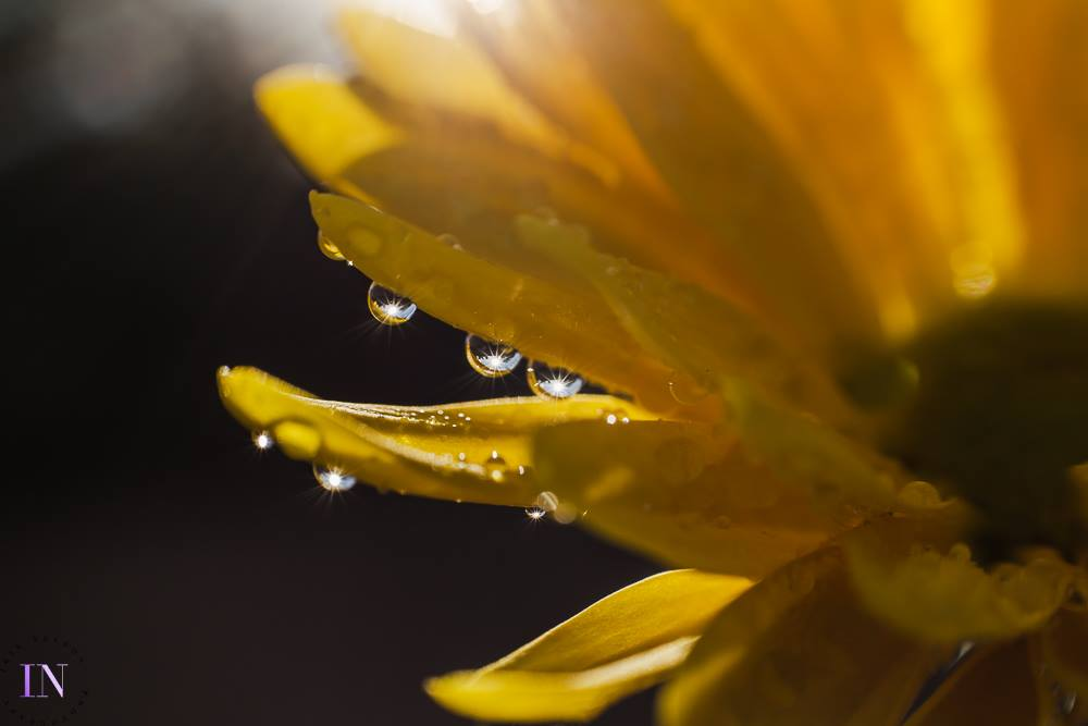 sunflower yellow flower water droplets sun reflecting macro photography bokeh selective focus Lensbaby featured photos macro