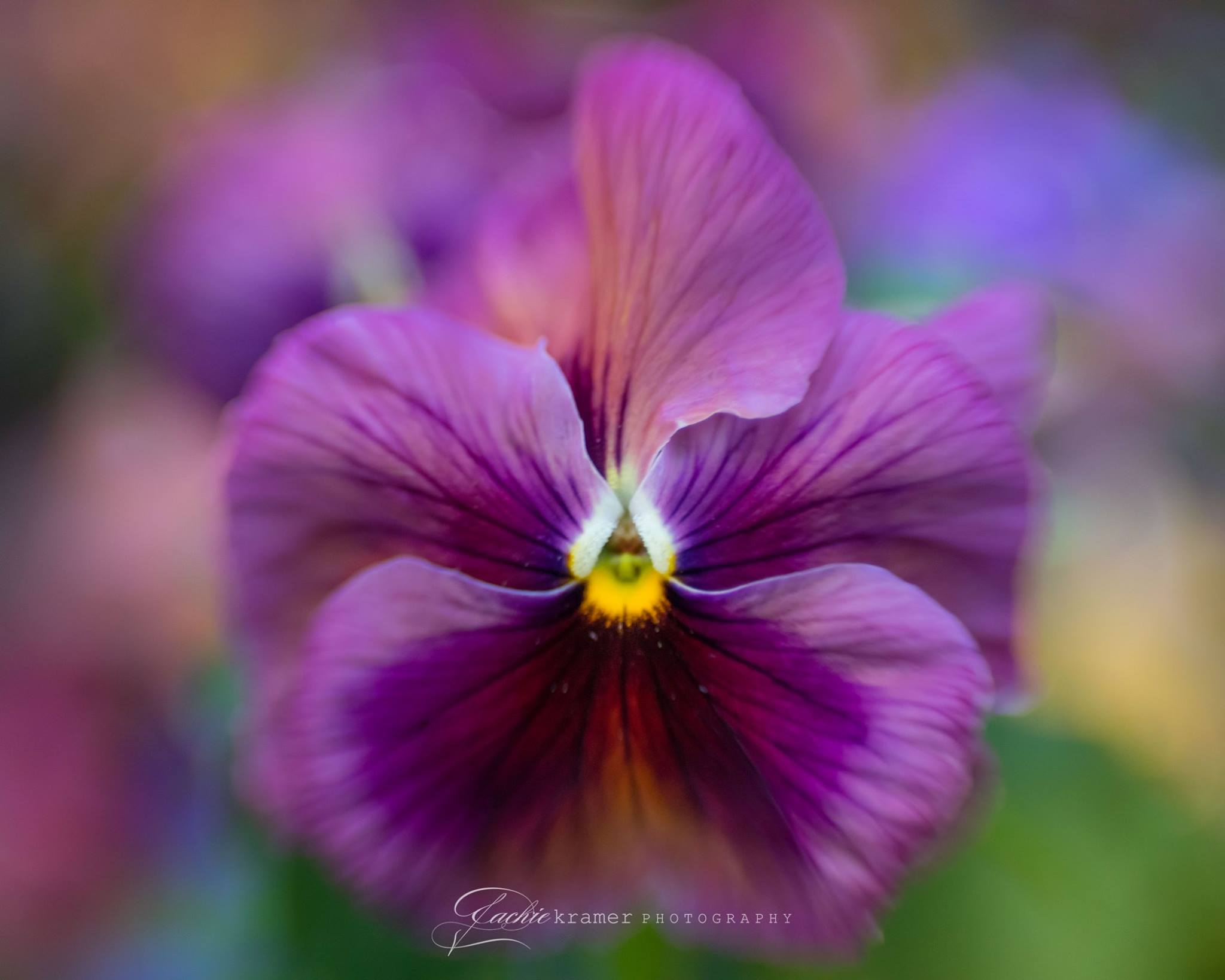 purple flower with yellow and white macro photography selective focus Lensbaby featured photos macro