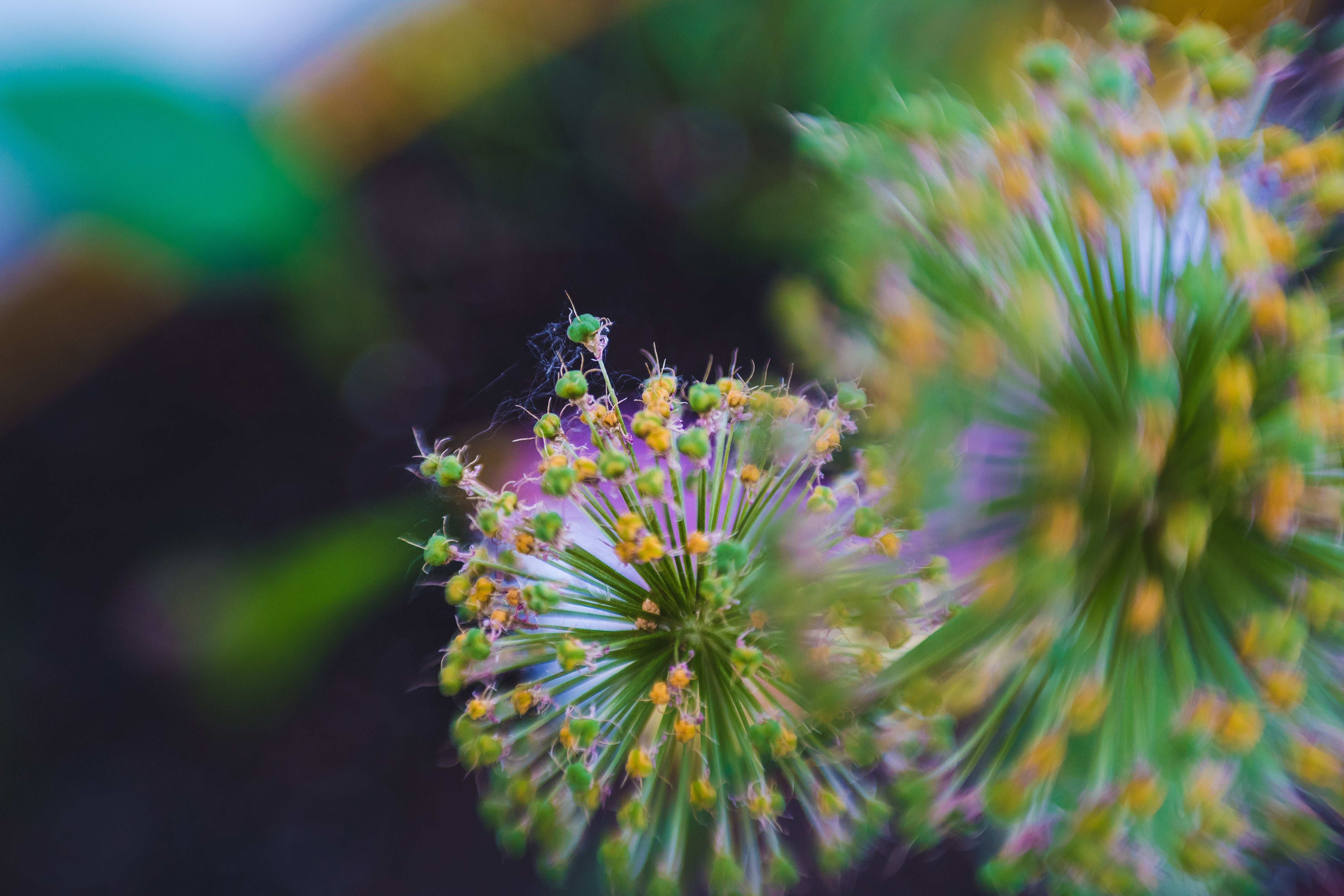 Flower up close macro green purple and yellow fuzzy long green rods selective focus Lensbaby featured photos