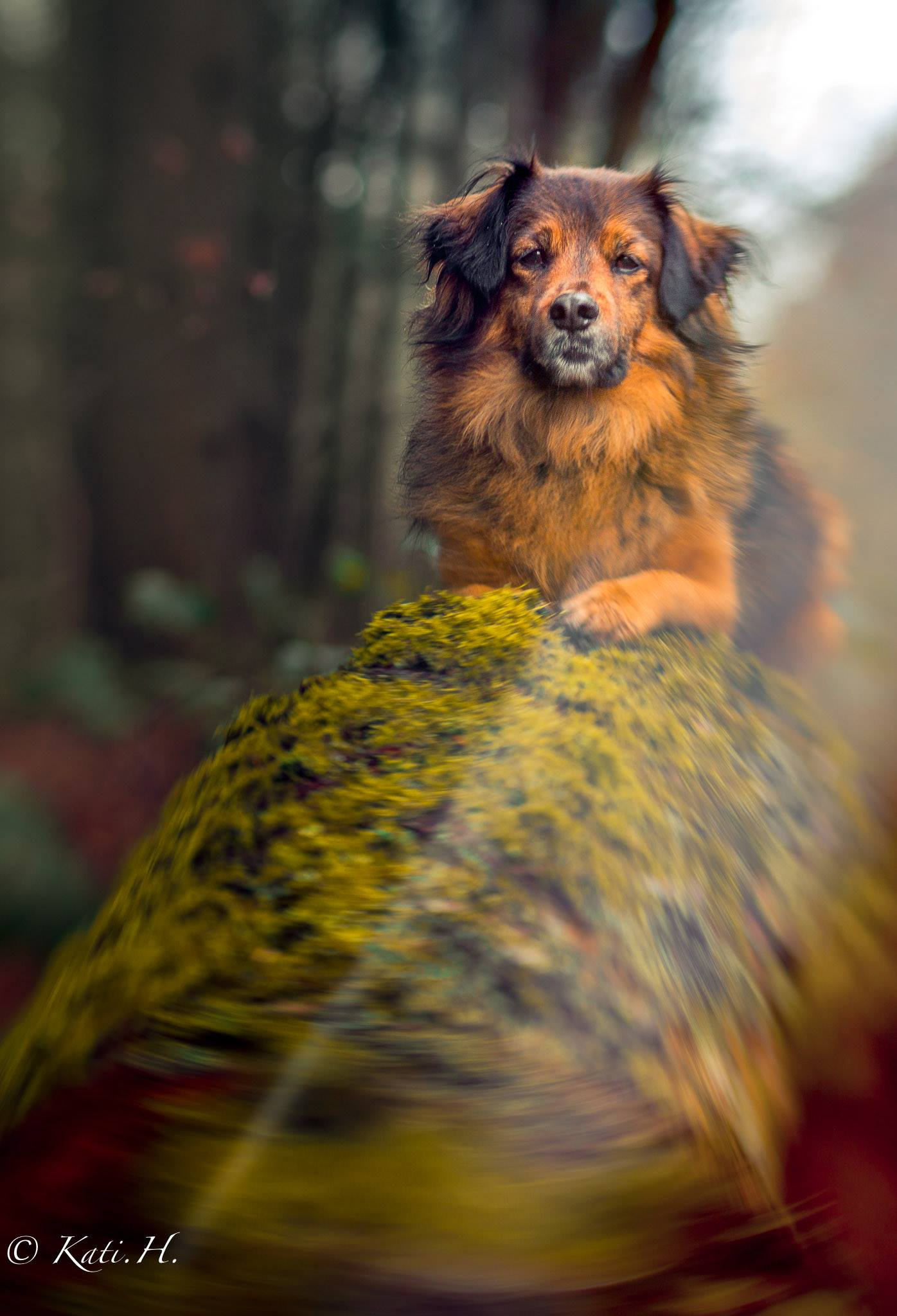 brown and black dog in the forest on a mossy tree rock Lensbaby featured photos