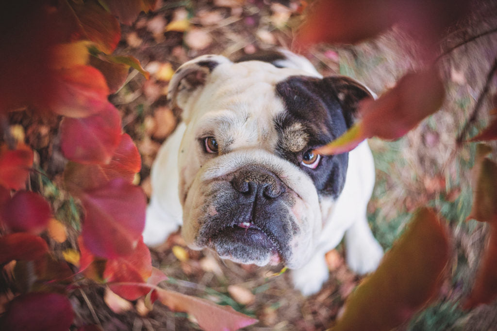 black and white bulldog and red leaves