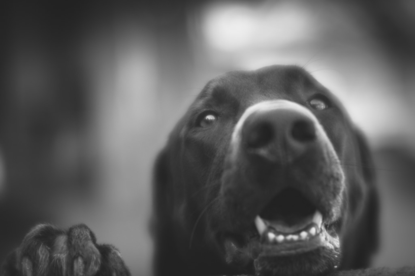 black lab dog portrait photo black and white lensbaby featured photos
