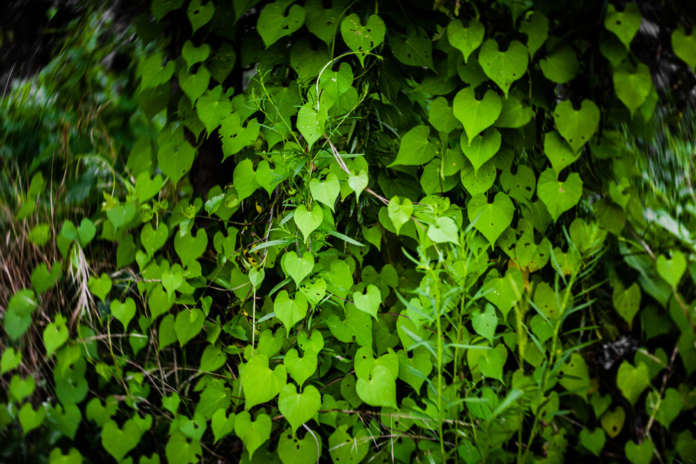 green vine crawling up the wall lush leaves