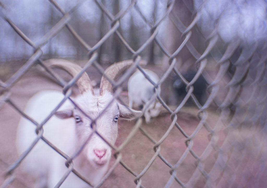 Goats through fence