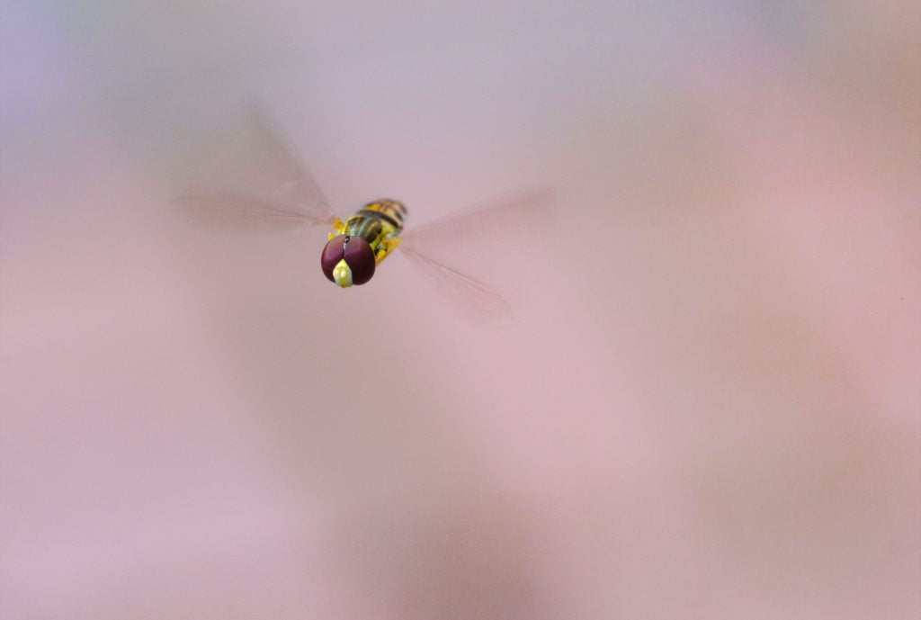 Flying insect macro