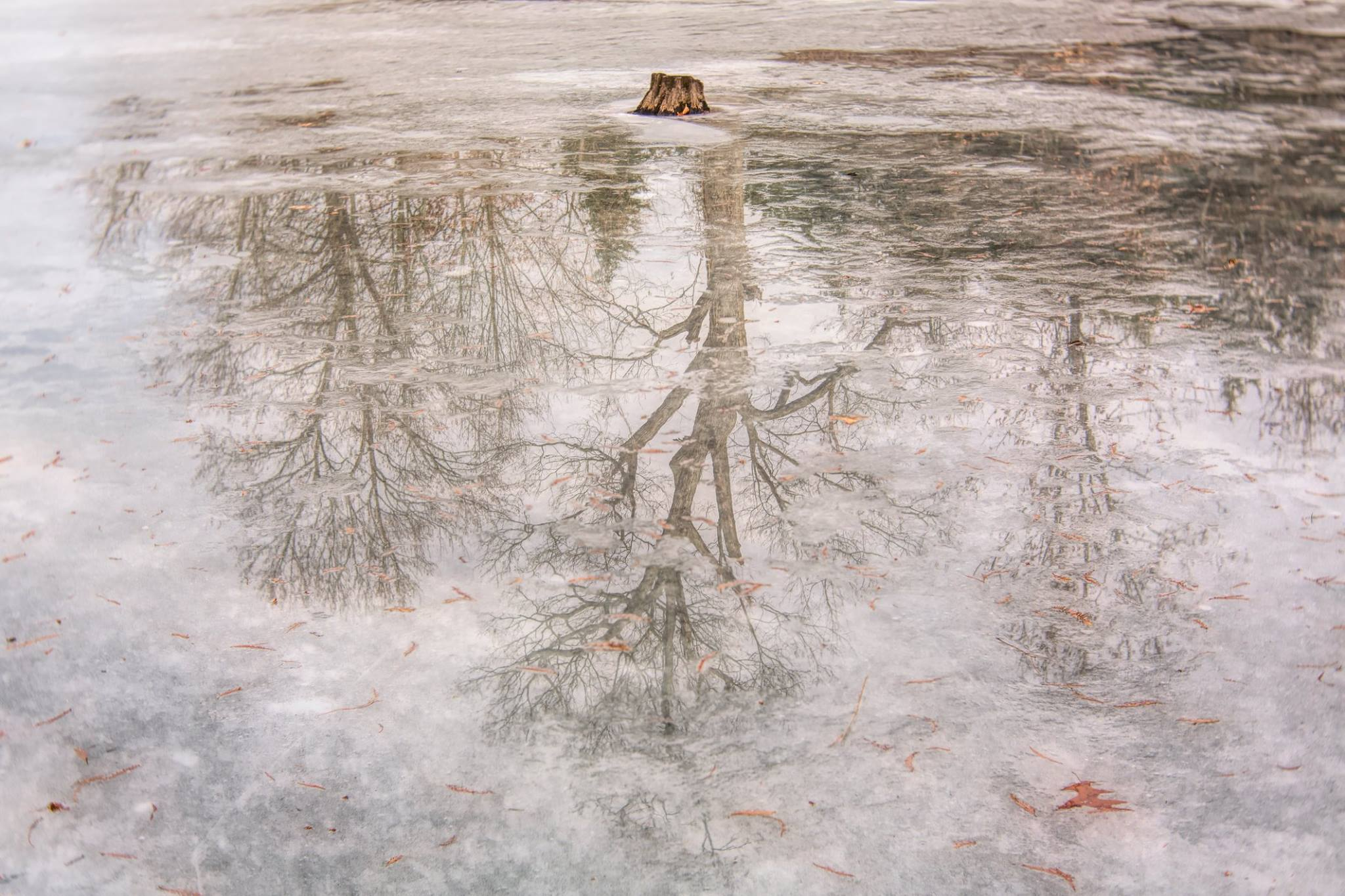 tree stump in a pond winter trees reflection in shallow water Lensbaby featured photos