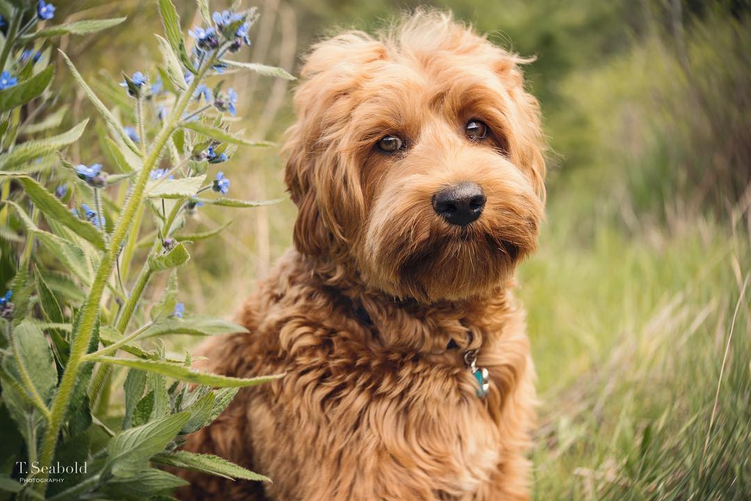 light brown blonde dog with big eyes fluffy hair sitting in tall grass and flowers Lensbaby featured photos