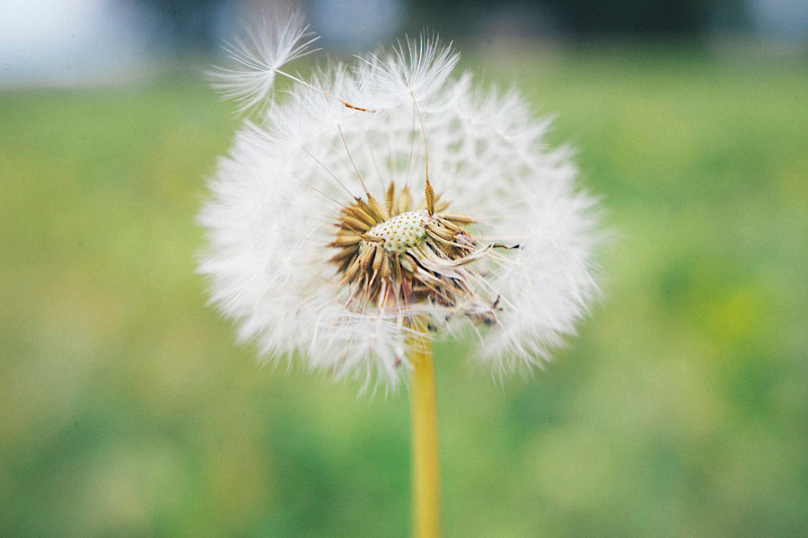 Abbie Kirkpatrick's photo of a dandelion in wide angle macro lens style.