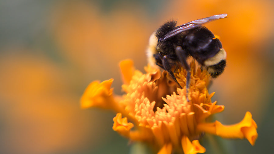 macro bee on flower picture with Lensbaby wide angle macro lens taken with the double glass optic and macro kit