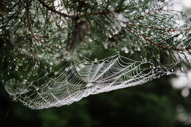 Spider web in pine needles with drops of moisture featured photos discovery is our joy