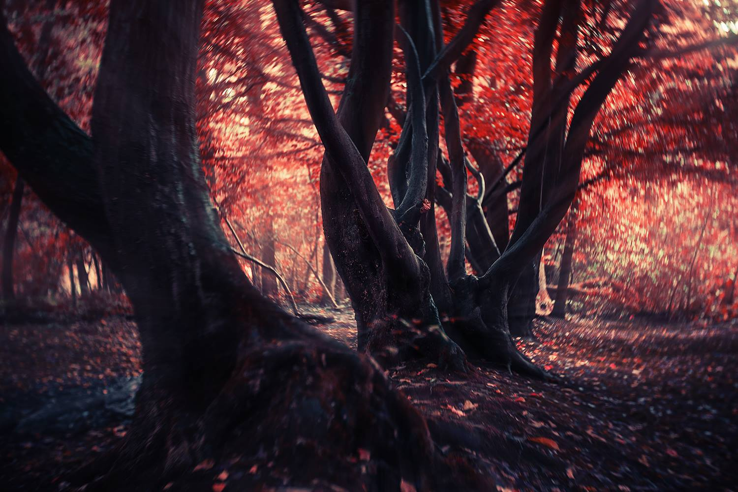 Trees in the forest with fall leaves red leaves twisted trunks featured photos
