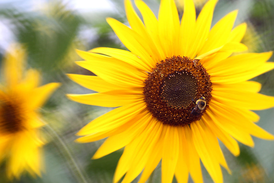 A bright sunflower photo with the wide angle macro lens taken by Paul Andrews.