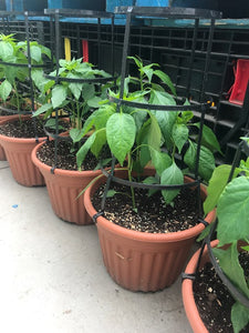 Cayenne Peppers Patio Planter (with cage)- SPECIAL