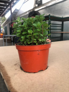 "6"" Mint Plant  (Spearmint)"