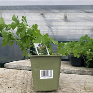 Herb- Italian Parsley (single Plant)