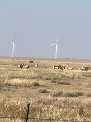 pronghorns in grass field with wind turbines
