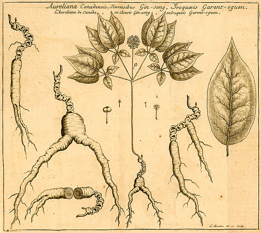 American ginseng botanical drawing
