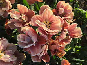 Tips for planting tulip bulbs