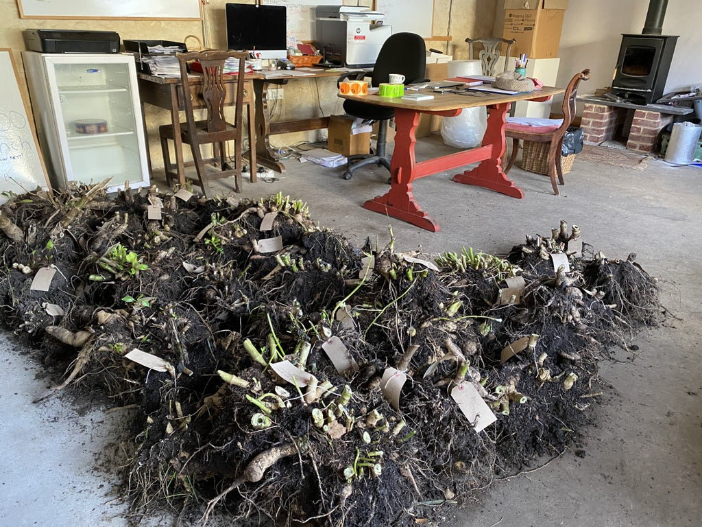How we store our lifted dahlia tubers at Common Farm Flowers