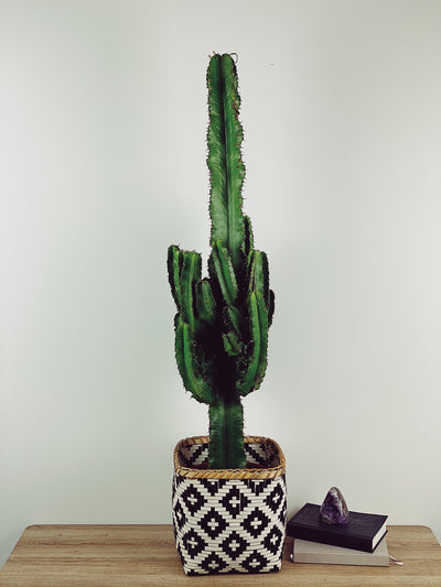 CARLOS THE GIANT CACTUS