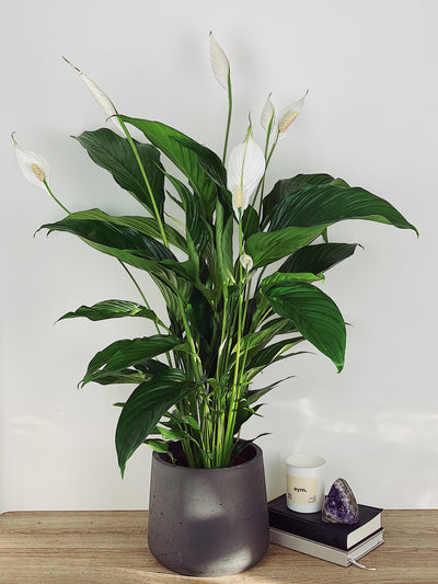 Lily The Peace Lily