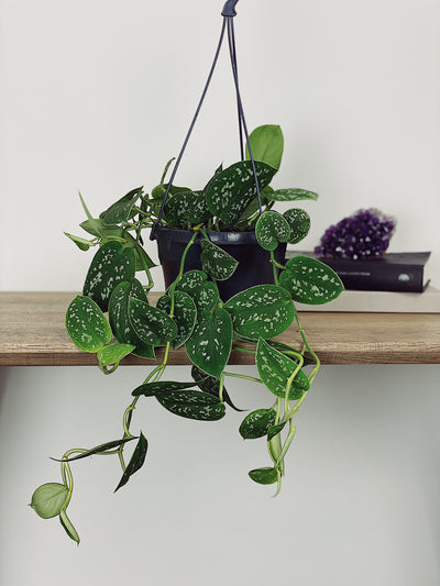 Marble The Silver Pothos