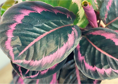 The Ultimate Calathea Guide