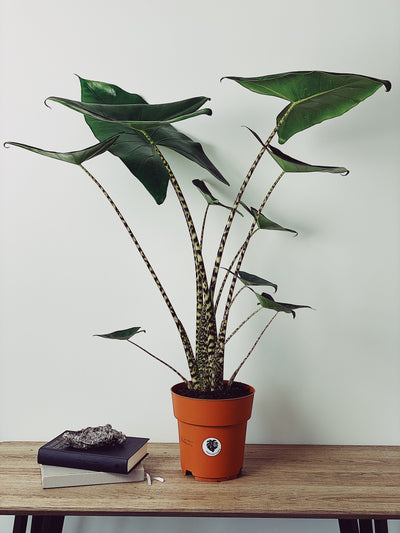 Zara - Houseplants delivered UK