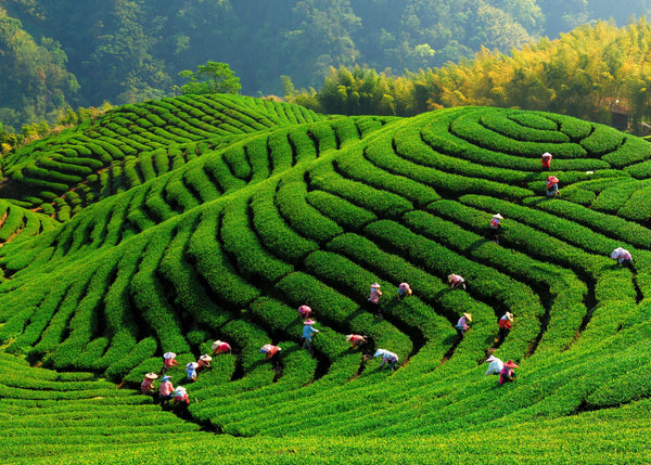 Tea plantation in Hunan, China